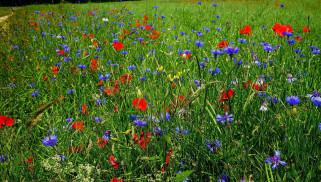 цветы, луговые , полевые,  цветы, трава, маки, васильки