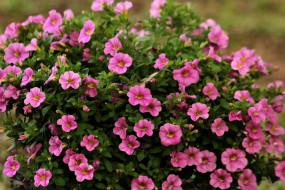цветы, петунии,  калибрахоа, розовые