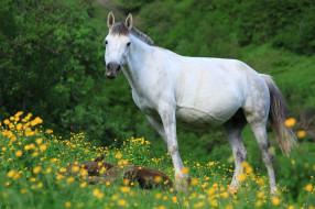 животные, лошади, лошадь, белая, жеребенок, луг