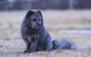 животные, лисы, лисица, 4k, дикая, природа, хищники, чернобурка, vulpes