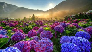 цветы, гортензия, синяя, розовая, много