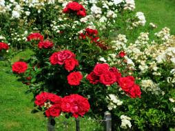 цветы, розы, белые, красные, кусты