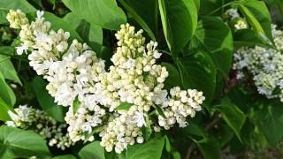 цветы, сирень, грозди, белая