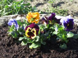 цветы, анютины глазки , садовые фиалки, анютины, глазки