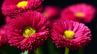 цветы, маргаритки, розовые, макро