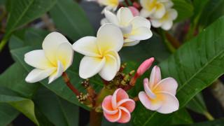 цветы, плюмерия, белая, бутоны