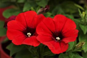 цветы, петунии,  калибрахоа, алые, дуэт
