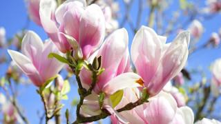 цветы, магнолии, розовая, магнолия, бутоны