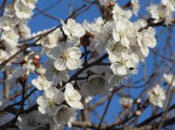 цветы, цветущие деревья ,  кустарники, абрикос