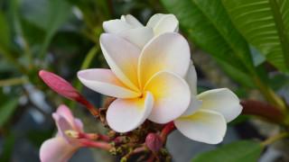 цветы, плюмерия, белая, макро