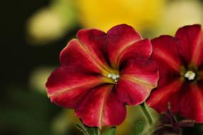 цветы, петунии,  калибрахоа, макро