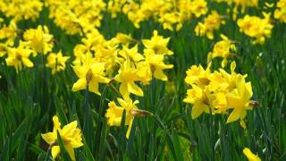 цветы, нарциссы, желтые, весна