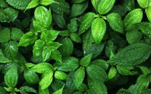 природа, листья, зеленые, капли