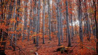 природа, лес, березовая, роща, осень, листопад