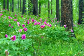 природа, лес, сосны, трава, пионы