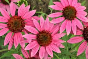 цветы, эхинацея, розовая