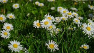 цветы, маргаритки, белые, трава