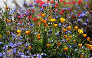 цветы, луговые , полевые,  цветы, разнотравье