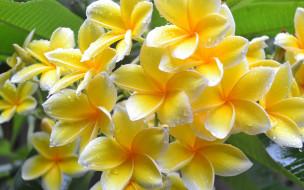 цветы, плюмерия, желтая, капли