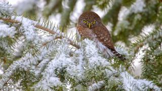 животные, совы, зима, снег, ветки, сова, хвоя, сыч