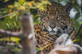животные, ягуары, взгляд, морда, хищник, ягуар, дикая, кошка