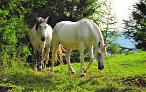 животные, лошади, белые, лес, поляна