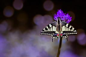 животные, бабочки,  мотыльки,  моли, цветок, макро, фон, бабочка, махаон