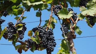 природа, ягоды,  виноград, грозди, виноград, урожай