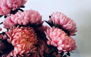 цветы, хризантемы, розовые, макро