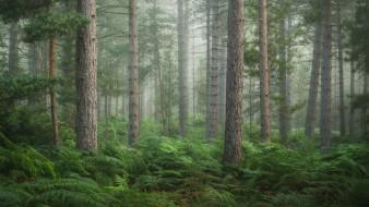 природа, лес, лето, туман