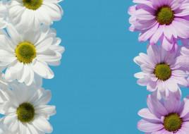 цветы, хризантемы, белые, лиловые, голубой, фон