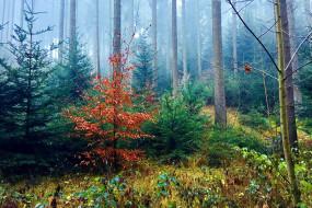 природа, лес, сосны, елки, туман