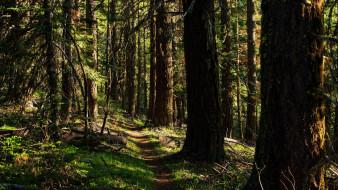 природа, лес, сосны, тропинка
