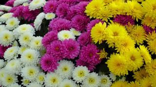 цветы, хризантемы, белые, розовые, желтые