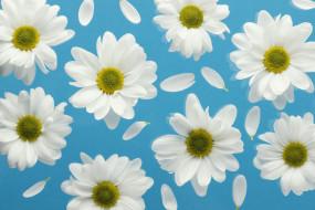 цветы, хризантемы, лепестки, белые