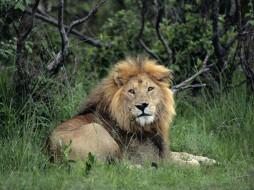 животные, львы, лев, трава, кусты