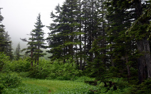 природа, лес, елки, полянка