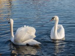 Лебеди, птицы, вода, пара