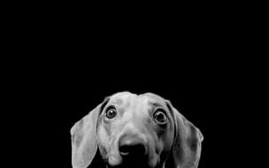собака, такса