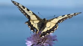 бабочка, махаон, цветок