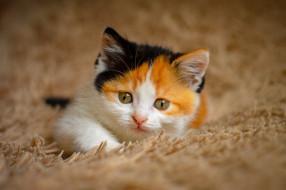 котёнок, комочек, шерсти, няшное, существо, да, и, лучший, друг, человека, мур, мяу