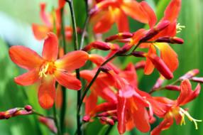 crocosmia, цветы