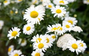 цветы, ромашки, белые