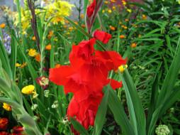 цветы, гладиолусы, алый, гладиолус