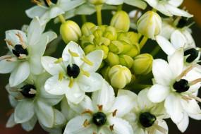 ornithigalum flower, птицемлечник, цветы, ornithigalum, flower