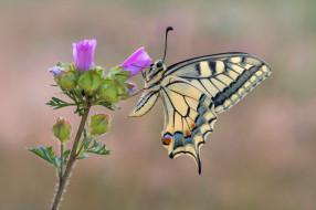 Бабочка, Насекомое, Махаон