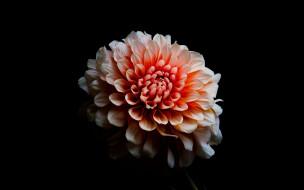цветы, георгины, георгин, макро