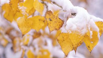 природа, листья, ветка, желтые, снег