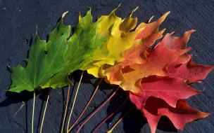 природа, листья, клен, осень, цвета