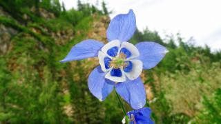 цветы, аквилегия , водосбор, цветок, голубой
